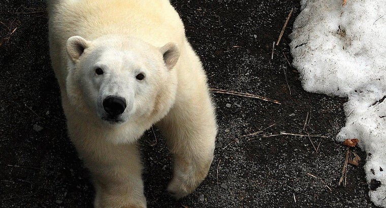 polar-bears-protect-themselves