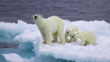 Are Polar Bears White All Year Round?