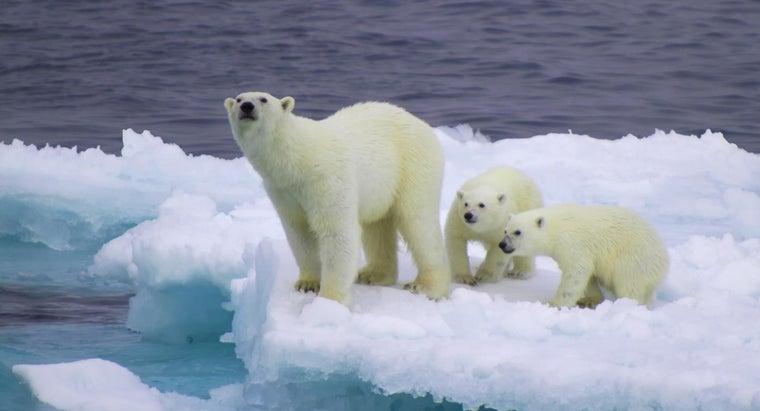 polar-bears-white-year-round