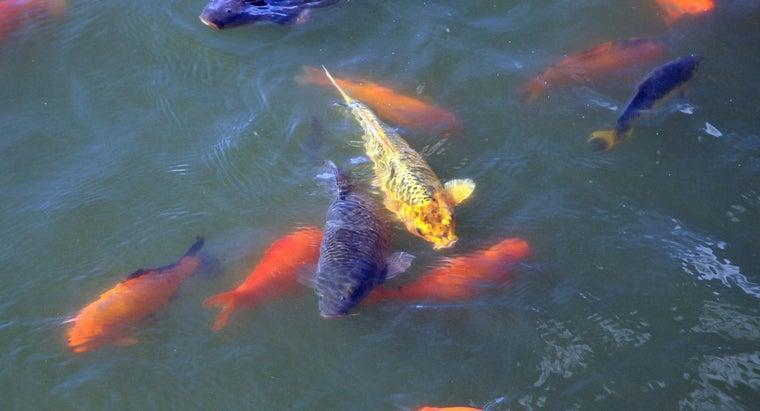 pond-fish-eat