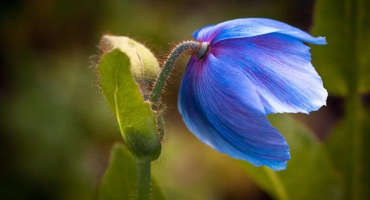 poppies-flower