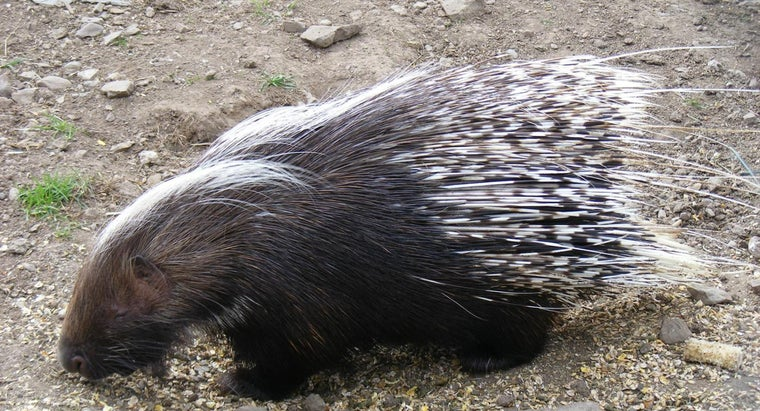 porcupine-quills-grow-back