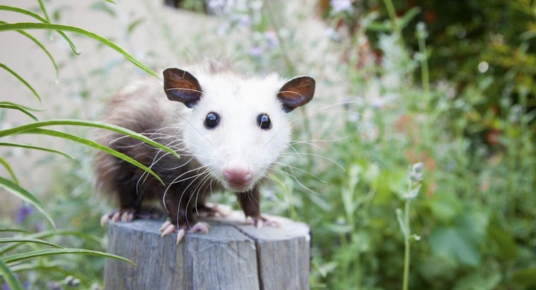 What does baby possums eat