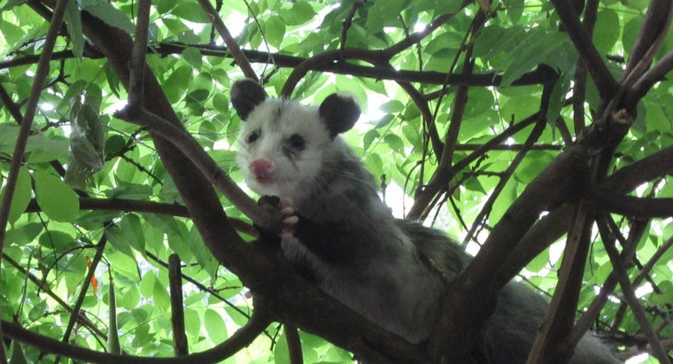 possums-sleep
