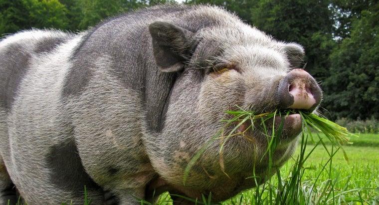 pot-bellied-pigs-eat