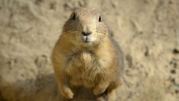 Why Are Prairie Dogs Endangered?