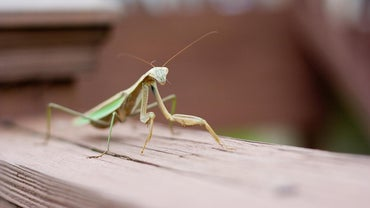 Is a Praying Mantis Good Luck?