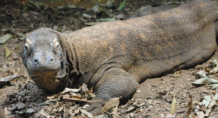 predators-komodo-dragon