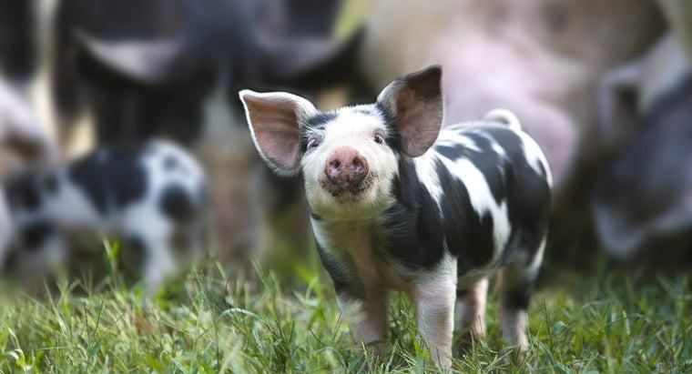 predators-pigs