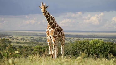What Are the Predators and Prey of the Giraffe?