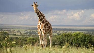 Do Giraffes Live in the Rainforest?