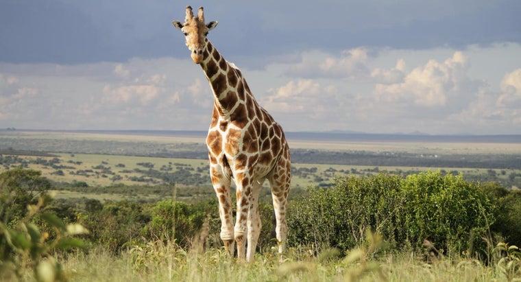 predators-prey-giraffe