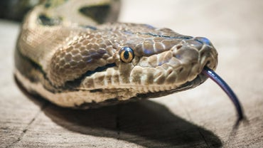 What Are Some of the Predators of Snakes?