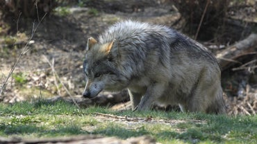 What Are the Predators of Wolves?