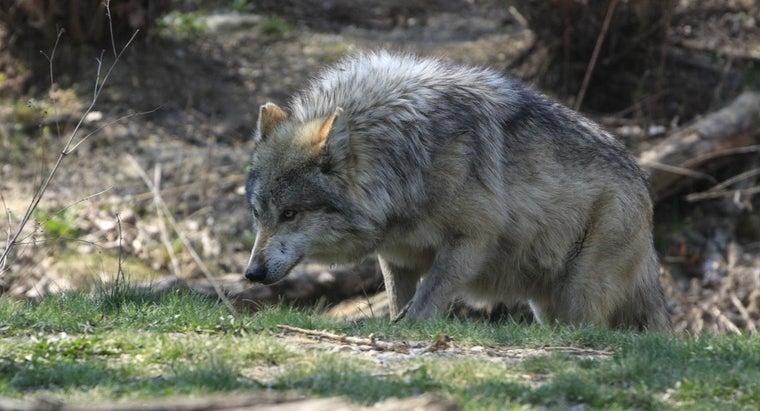 predators-wolves
