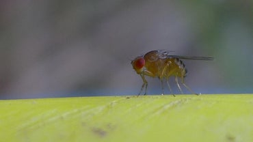How Do You Prevent Fruit Flies?