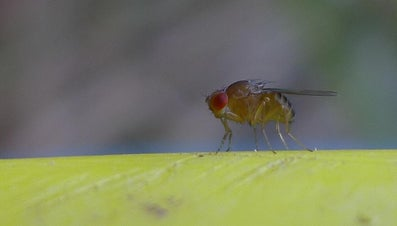 How Do You Prevent Fruit Flies?