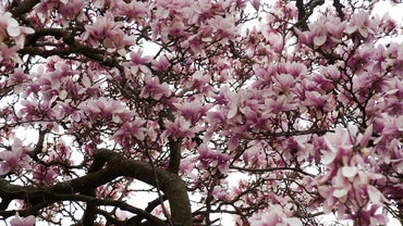 What Prevents Magnolia Trees From Blooming?