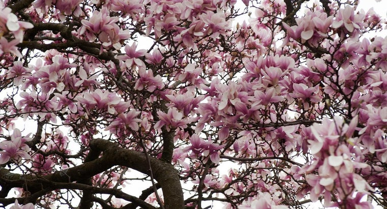 prevents-magnolia-trees-blooming