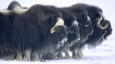 Who Are the Primary Consumers of the Tundra?