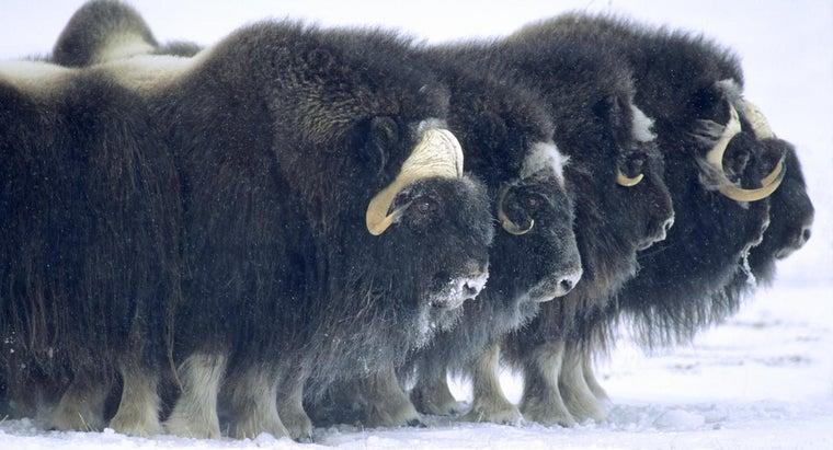 primary-consumers-tundra