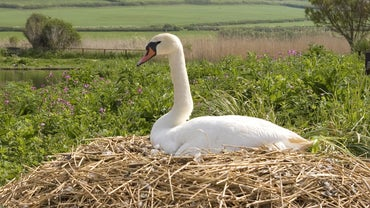 What Is the Process for Hatching Swan Eggs?
