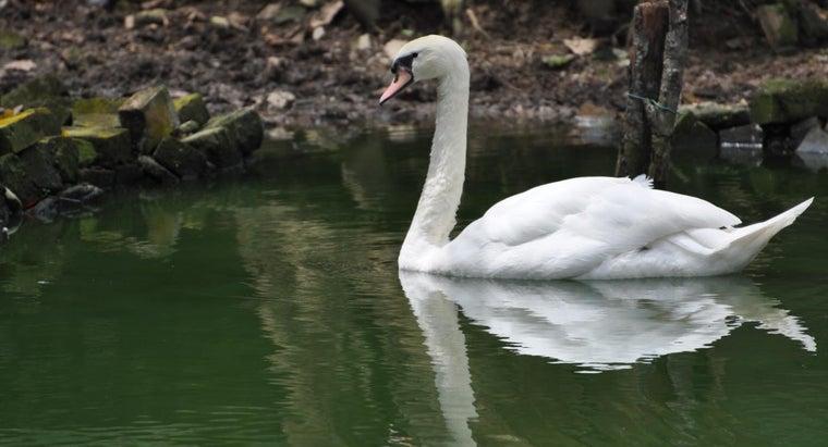 proper-name-male-swan
