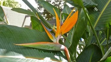 How Do You Prune a Bird of Paradise Tree?