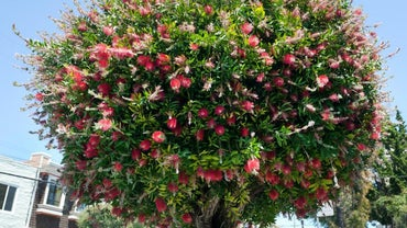 How Do You Prune Bottle Brush Trees?