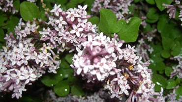How Do You Prune Dwarf Lilac Bushes?