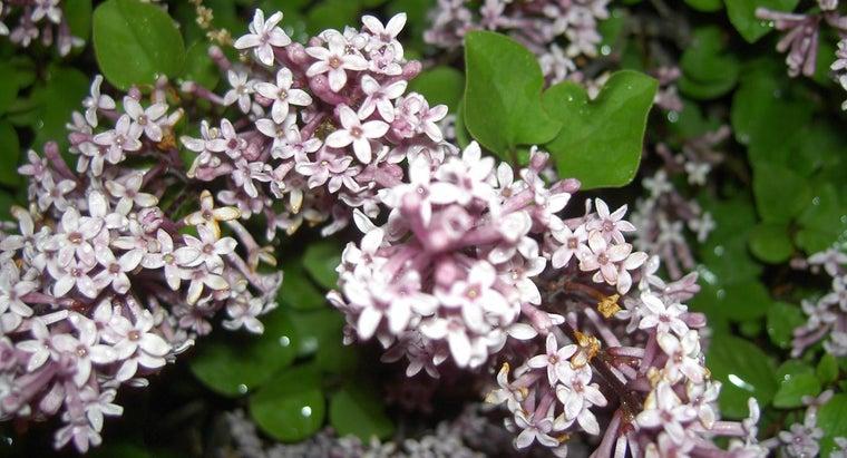 prune-dwarf-lilac-bushes