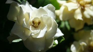 How Do You Prune Gardenia Bushes?