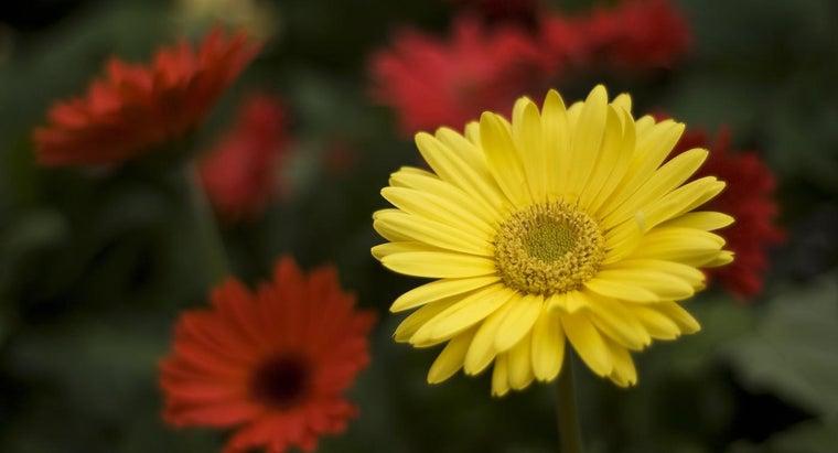 prune-gerbera-daisies