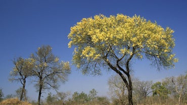 When Do You Prune a Mimosa Tree?