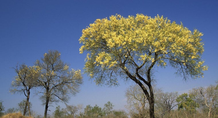 prune-mimosa-tree