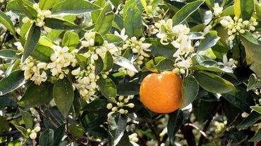 How Do You Prune an Orange Tree?