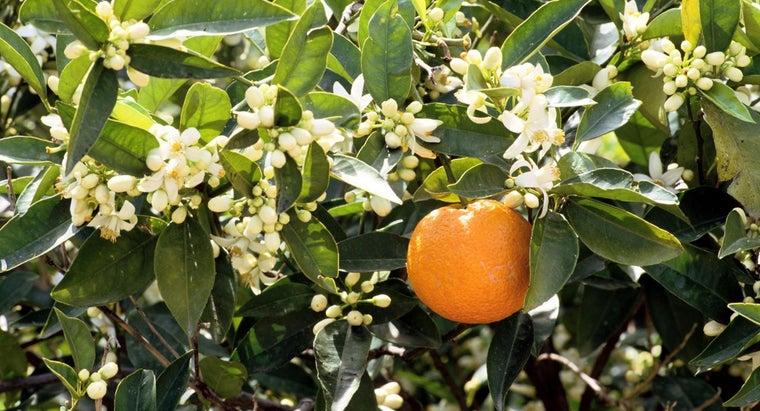 prune-orange-tree