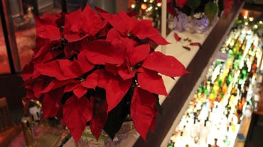 How Do You Prune Poinsettias?