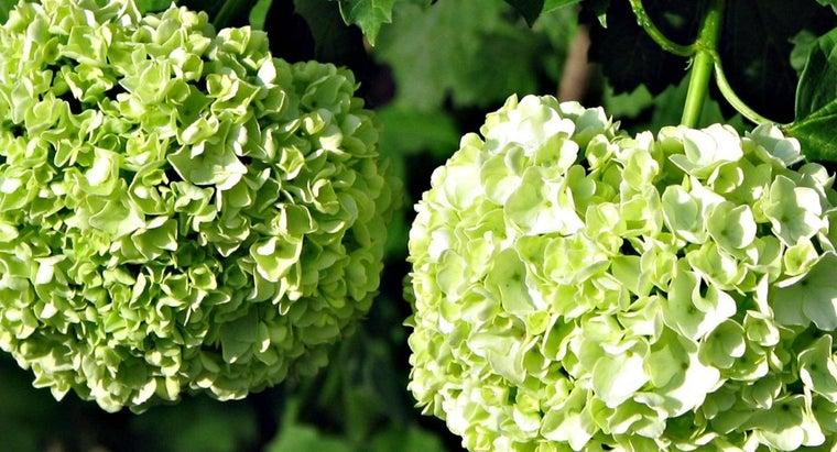 prune-snowball-viburnum-bush