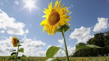 How Do I Prune Sunflowers?