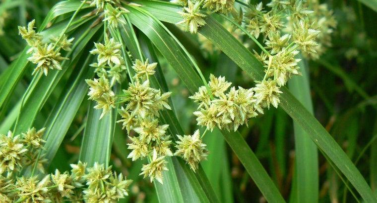 prune-umbrella-plants