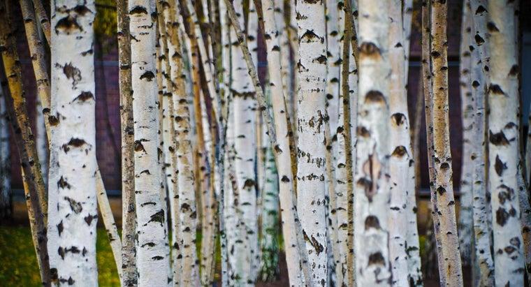 prune-white-birch-tree