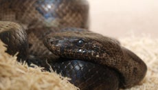 What Is a Puerto Rican Boa?