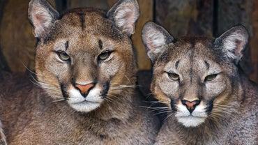 How Do Pumas Survive?
