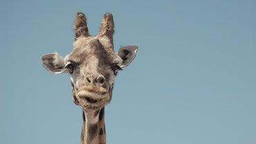 What Is a Pygmy Giraffe?