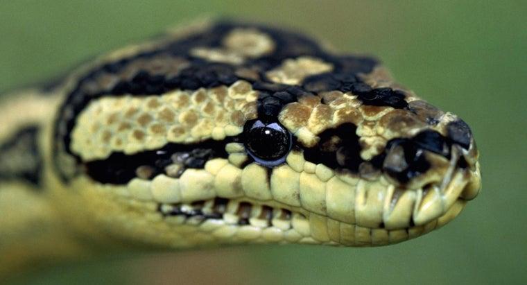 pythons-poisonous