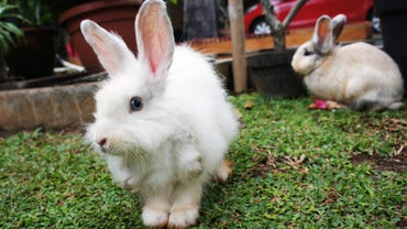 How Often Do Rabbits Mate?