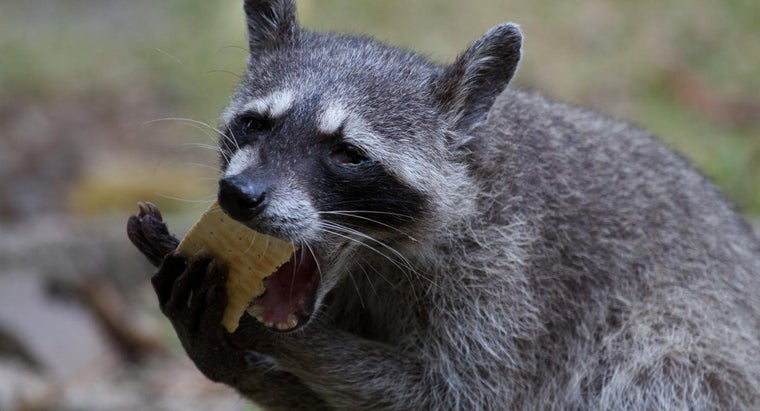raccoons-eat