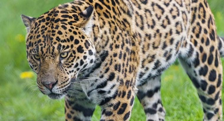 rain-forests-jaguars-live