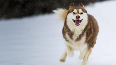 How Rare Is a Red and White Husky?
